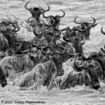 1204-1st-Place-Wildlife-Wildebeest-Crossing-by-Dileep-Nageswaran